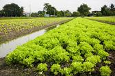 Lettuce plant in field — Stock Photo