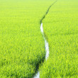 Stock Photo: Lush green rice field