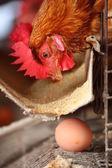Eier-Hühnerfarm — Stockfoto