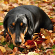 Dachshund — Stock Photo
