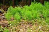 Horsetail — Stock Photo