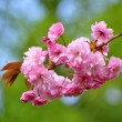 Stock Photo: Cherry blossom