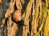 Sleeping snail on tree bark — Stock Photo