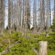 Forest destroyed by bark beetle — Stock Photo #27102011