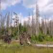 Stock Photo: Forest destroyed by bark beetle