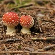 Amanita muscaria — Stock Photo #32088659