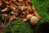 Polypore with a green moss — Stock Photo