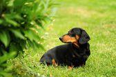 Small black dachshund — Stock Photo