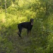 Stock Photo: Black dobermin green forest