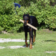 Smart doberman with a stick in it's jaws — Stock Photo