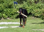 Smart doberman with a stick in it's jaws — Fotografia Stock