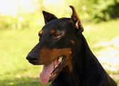 Portrait of black doberman — Stock Photo