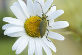 Green beetle on the camomile flower — Stock Photo