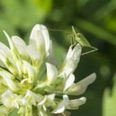 Small insect on a flower clover — Stock Photo