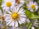 Zawilce żywe kwiaty w słoneczny dzień — Zdjęcie stockowe