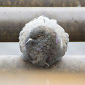 Pigeon ruffled up — Stock Photo