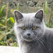 Gloomy gray cat outdoors — Stock Photo