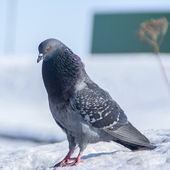 Pigeon in winter — Stock Photo