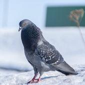 Pigeon in winter — Foto Stock