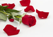 Red rose and rose petals around — Stock Photo