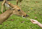 Deer feeding with hands — Stock Photo