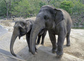 Elefants in the zoo — Stockfoto
