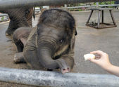 Elephant-cub feeding from hand — Stockfoto