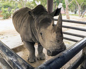 Huge black rhino in Thailand zoo — Photo