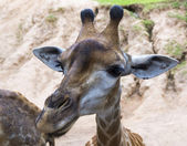 Funny giraff — Stockfoto
