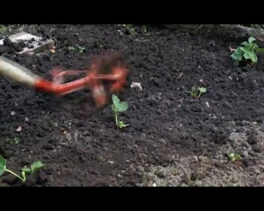 Tillage of strawberries garden bed — Stock Video