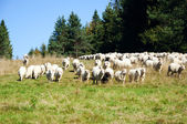 Herd of sheep on the meadow — Stock Photo