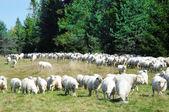 Herd of sheep on meadow — Stock Photo