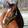 A brown horse on the paddock - close-up — Stock Photo