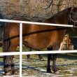 Stock Photo: Brown horse on paddock