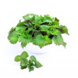 Spring young stinging nettle — Stock Photo #24552269