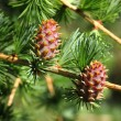 Branch with cones. Larix leptolepis — Stock Photo