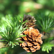 Branch of larch tree with cones — Stock Photo