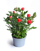 Miniature rose in a flower pot — Stock Photo