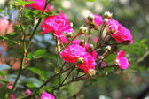 Flowers of climbing roses — Stock Photo