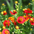 Stock Photo: Flowering Helenium