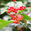 Viburnum berries — Stock Photo #30410713