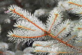 Branch of white spruce — Stock Photo