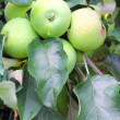 Green apples on a branch of apple-tree — Foto Stock