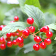 Viburnum berries — Stock Photo #30514513