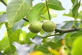 Close-up van groene walnoten op een tak — Stockfoto