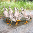 Gaggle of young domestic geese go on the road in a village — Стоковое фото #30956331