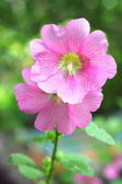 Flower of pink mallow — Stock Photo