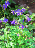 Blue Aquilegia growing in a garden — Stock Photo