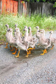 Gaggle of young domestic geese go on the road in a village — Stock Photo