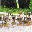 Stock Photo: Gaggle of young domestic geese go on road in village